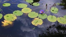 Lotus roxo na lagoa fotos de stock