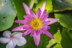 Lotus roxo no banho Imagem de Stock Royalty Free