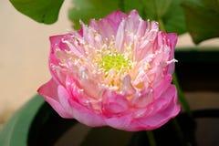 Lotus royal Image stock