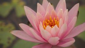 Lotus ; Rubra de Nymphaea ; nymphe d'eau Image libre de droits