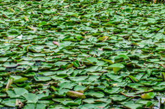 Lotus's leaf green on water plant Royalty Free Stock Photo