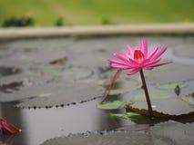 Lotus Sacred Pink Flower in de pot van het waterterracotta royalty-vrije stock foto's