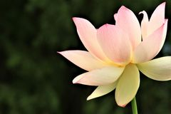 Lotus sacro Fotografia Stock