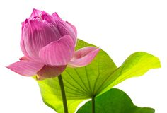 Lotus sagrado ilustração stock