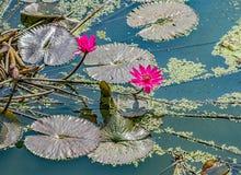 Lotus sagrado en Laos fotografía de archivo libre de regalías