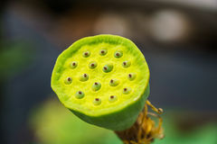 Lotus-Samenhülse - Nahaufnahme Stockbild