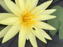 Lotus-Schönheit Stockbild