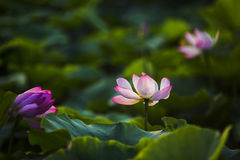 Lotus. (scientific name: Nelumbo nucifera Gaertn.), also known as , , such as water nymphaeales, nelumbonaceae aquatic perennial herbaceous flower. Rhizome long Stock Images