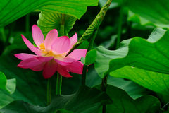 Lotus. (scientific name: Nelumbo nucifera), perennial aquatic plant. Rhizome () mast section, will occur in the water sediment. Ye Dunzhuang round, surface deep Stock Images