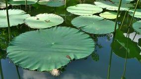Lotus se va en la charca de agua clara en el día de verano caliente Fotos de archivo