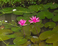 Lotus. Sea of pink lotus unseen in Thailand Royalty Free Stock Images