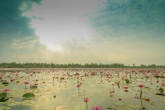 Lotus. Sea of pink lotus unseen in Thailand Royalty Free Stock Photos