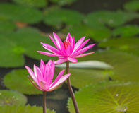 Lotus. Sea of pink lotus unseen in Thailand Stock Photography