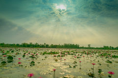 Lotus. Sea of pink lotus unseen in Thailand Royalty Free Stock Photography