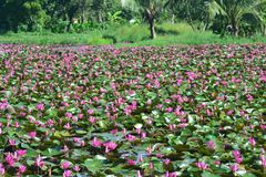 Lotus Sea rouge ou daeng talay de bua images libres de droits