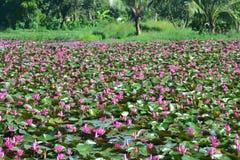 Lotus Sea rouge ou daeng talay de bua images libres de droits