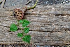 Lotus secó la vaina de la semilla en el registro de madera de la corteza foto de archivo libre de regalías