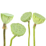 Lotus seed Royalty Free Stock Image