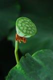 Lotus seed. Lotus flower seed bud root Stock Photos