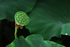 Lotus seed Stock Photo