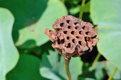 Lotus seed head Stock Photos
