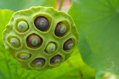 Lotus seed Royalty Free Stock Photo