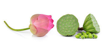 Lotus seed and pink lotus isolate white background Stock Images