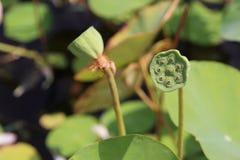 Lotus Seed Pod Lizenzfreie Stockbilder