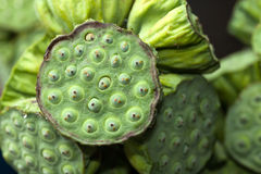 Lotus seed Royalty Free Stock Photography