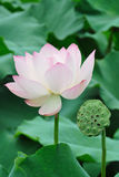 Lotus Seed Pod with flower Royalty Free Stock Photography