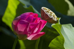 Lotus Seed Pod with flowers. Royalty Free Stock Images