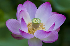 Lotus Seed Pod with flowers. Royalty Free Stock Photo