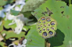 Lotus seed pod. Royalty Free Stock Image
