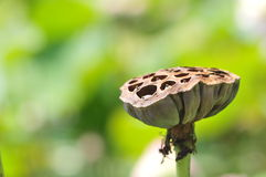Lotus seed pod. Royalty Free Stock Photo