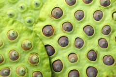 Lotus seed pod Stock Images