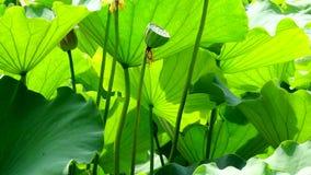 Lotus Seed Pod mit Blättern stock video footage