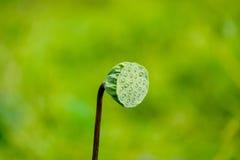 Lotus Seed Pod Stock Photo