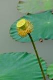 Lotus seed pod Royalty Free Stock Photo