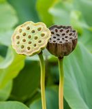 Lotus Seed Pods. Close-up macro of two lotus seed pods with seeds in different stages of drying Stock Image