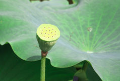 The lotus seed Royalty Free Stock Photo