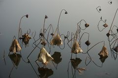 Lotus seedpod και φύλλο το φθινόπωρο Στοκ Εικόνες