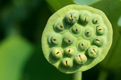 Lotus seedpod Arkivfoto