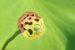 Lotus-seedpod Stockfoto