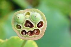 Lotus seedpod Stock Image