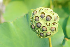 Lotus seedpod Royalty Free Stock Photos