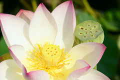 Lotus and seedpod Royalty Free Stock Photo
