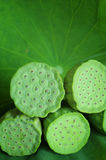 Lotus seedpod on leaf Stock Images