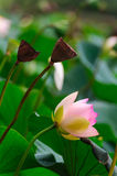 The lotus and seedpod of the lotus Royalty Free Stock Photography