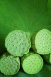 Lotus Seedpod On Leaf Stock Images