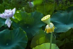 Lotus seedpod in pond Stock Image